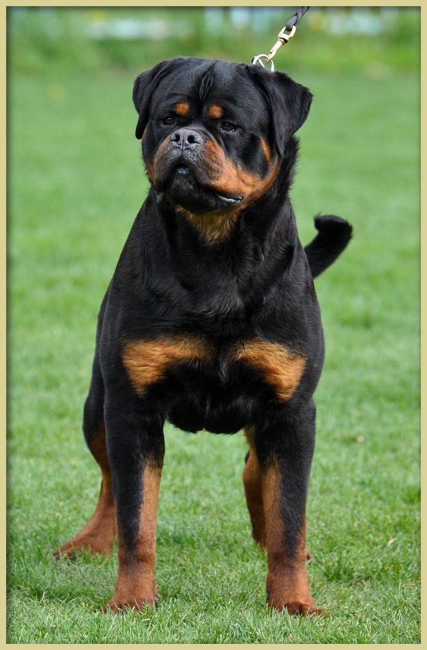AKC Rottweiler Puppies for Sale Sacramento CA   Vom Hognadottirs